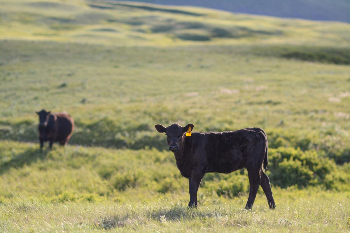 Angus calf in Montana