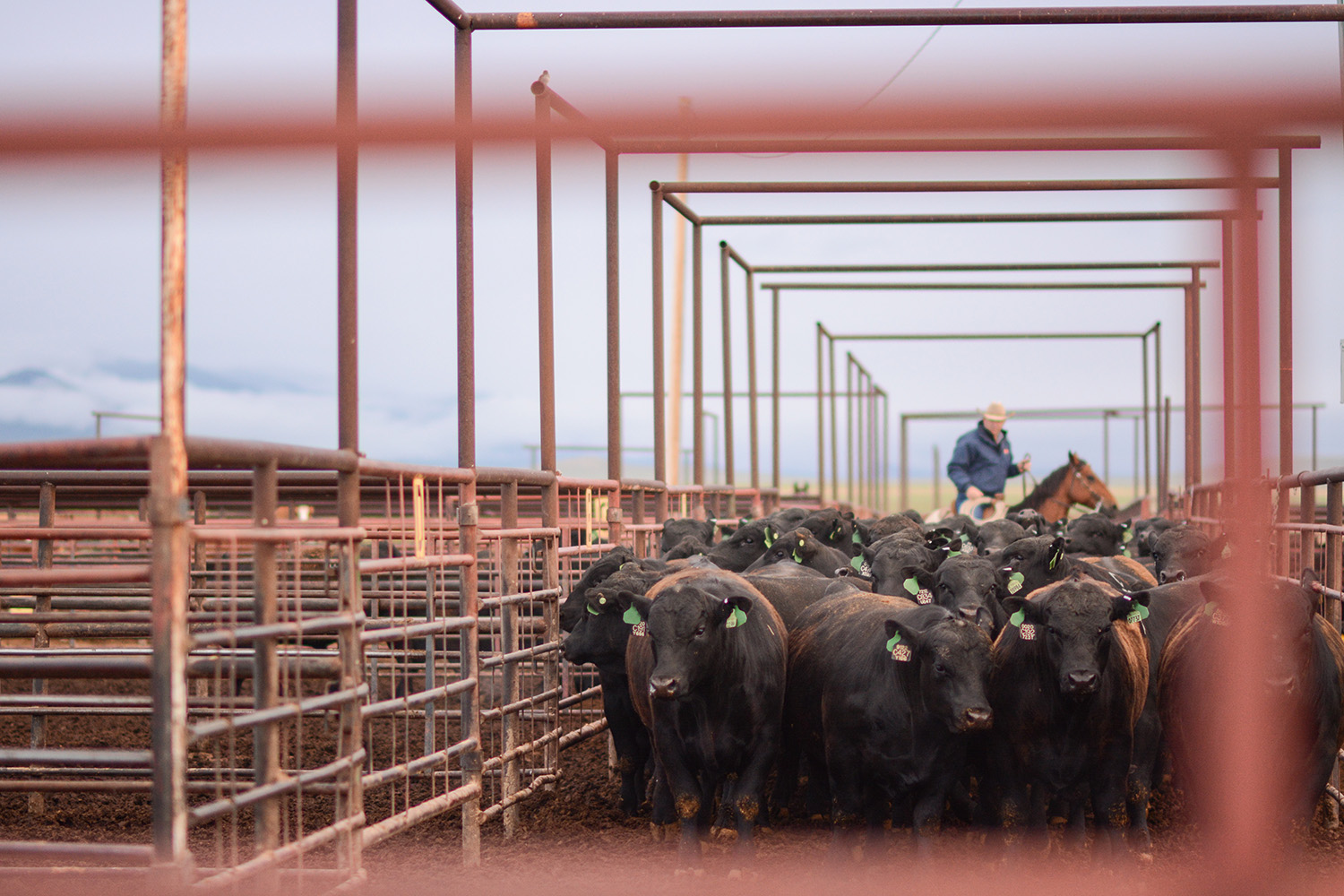 Angus bulls being sorted