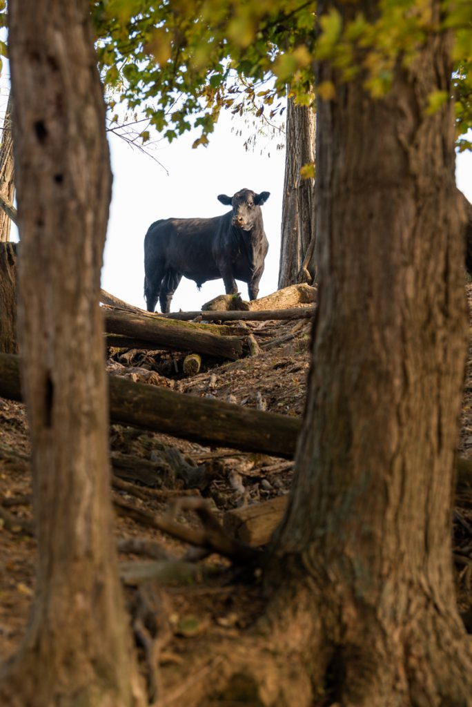 bull between trees