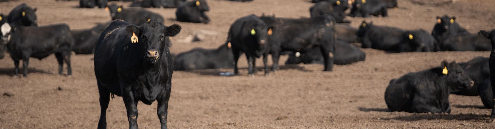 feedyard cattle