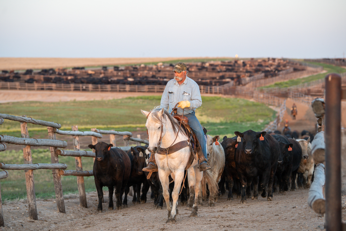 Cattleman leading feedyard cattle at Hy-Plains