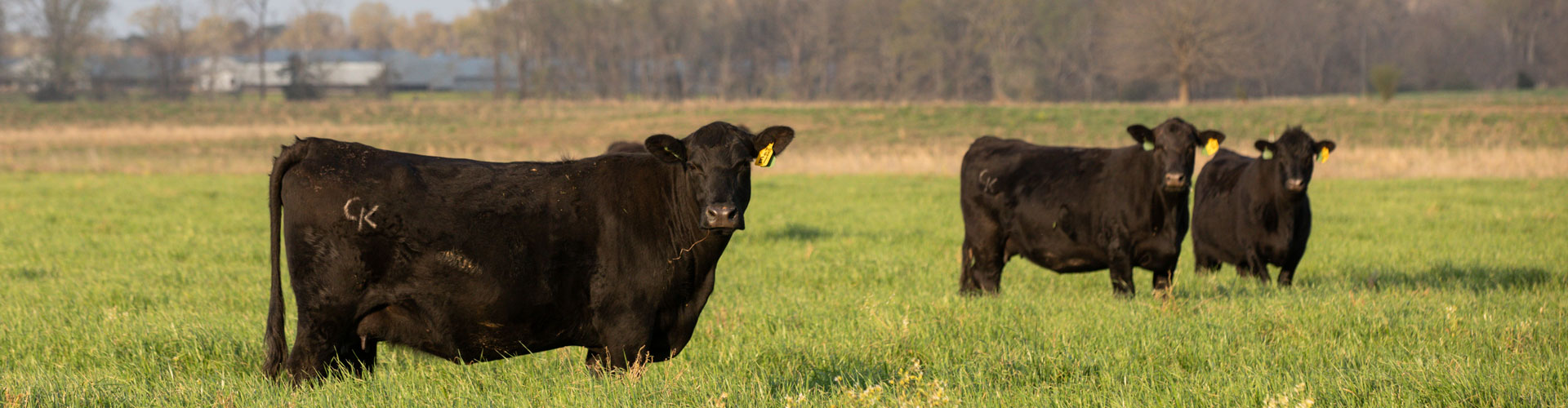 angus cows in pasture