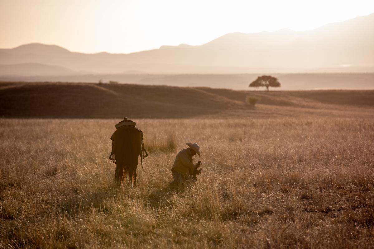 San Rafael tagging a calf at sunrise