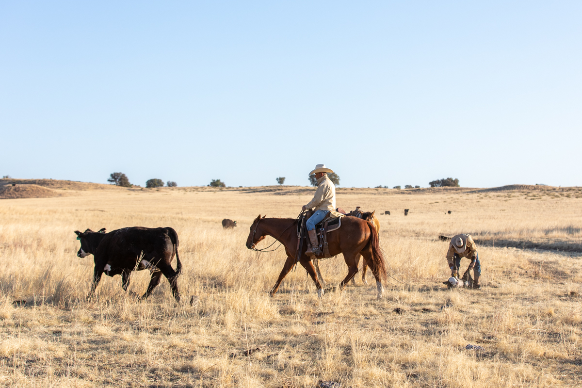 San Rafael cowboys tagging calves