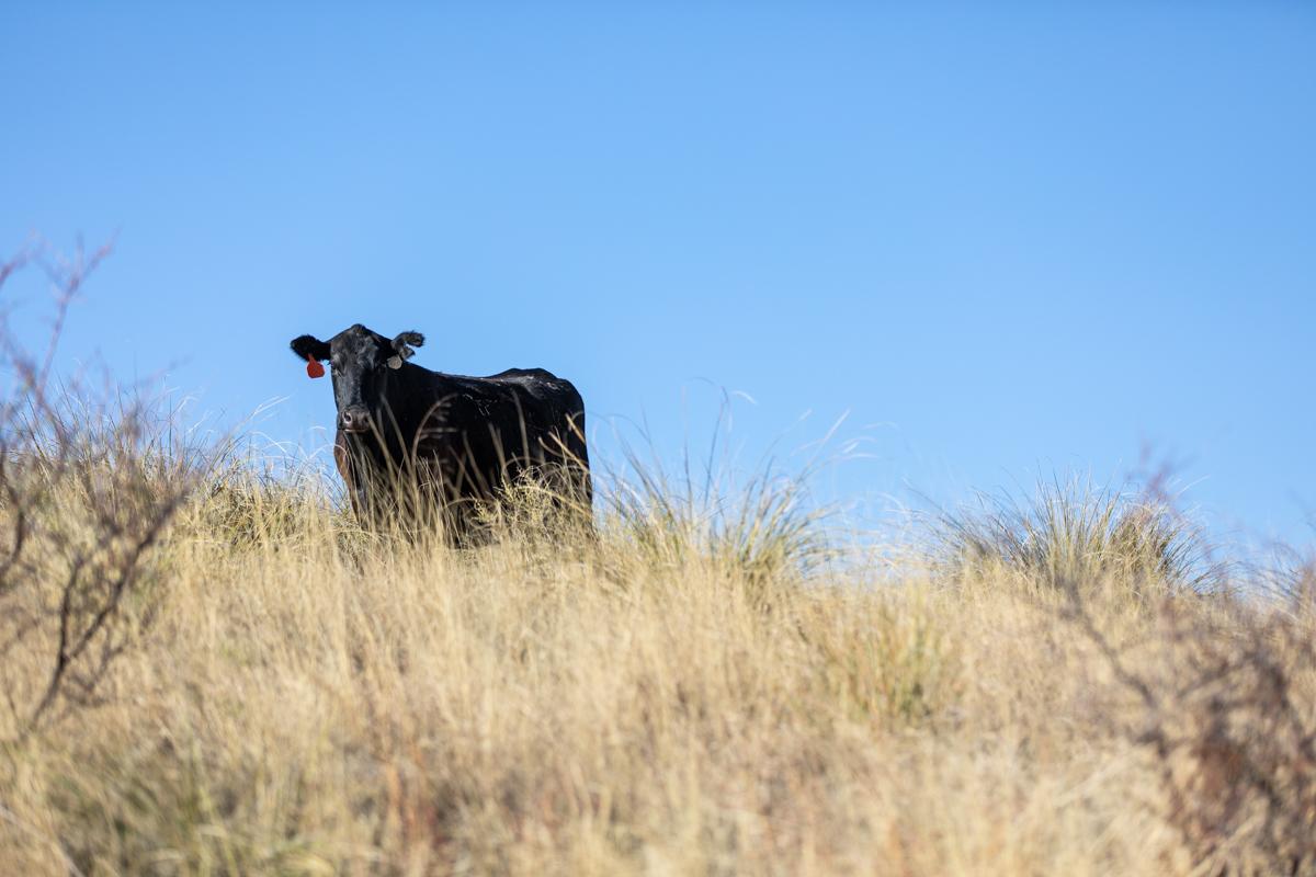 Arizona Angus cow