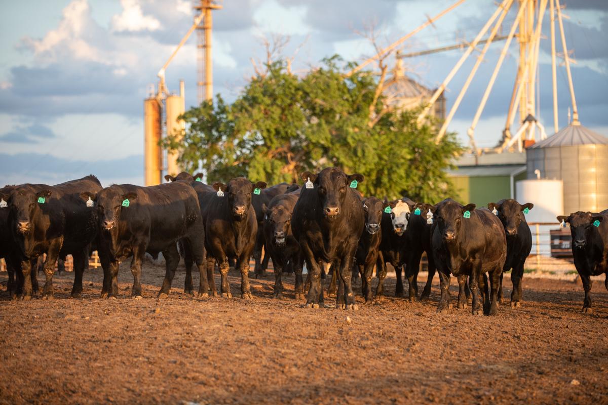 shaw feedyard angus steers