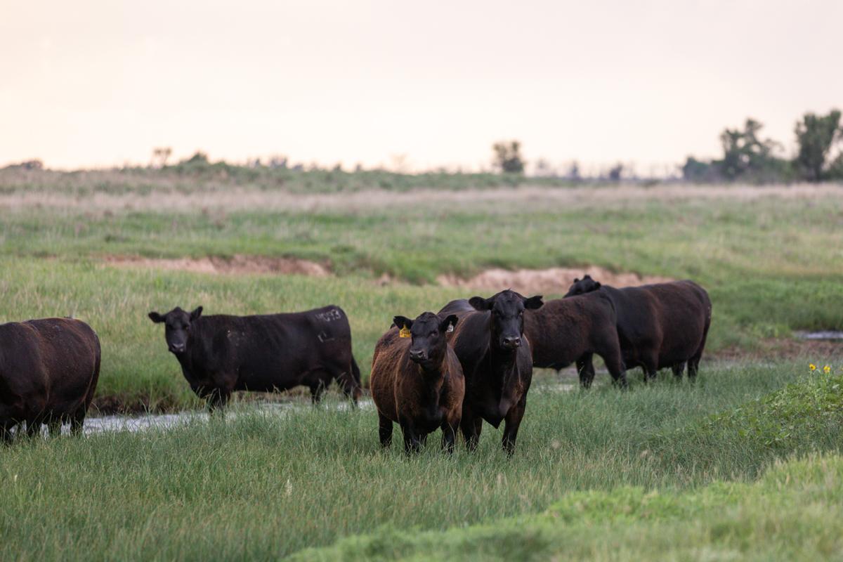 angus cow calf pair