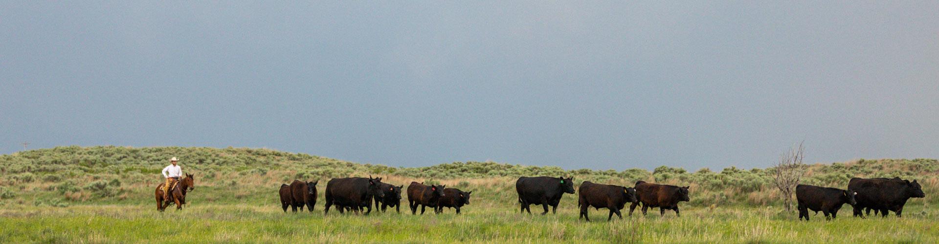 cowboy moving angus cows