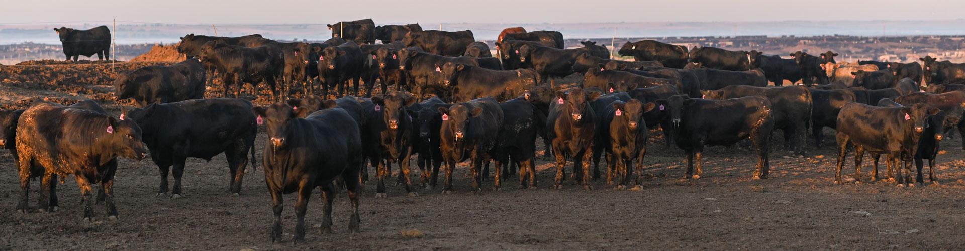 nebraska feedyard