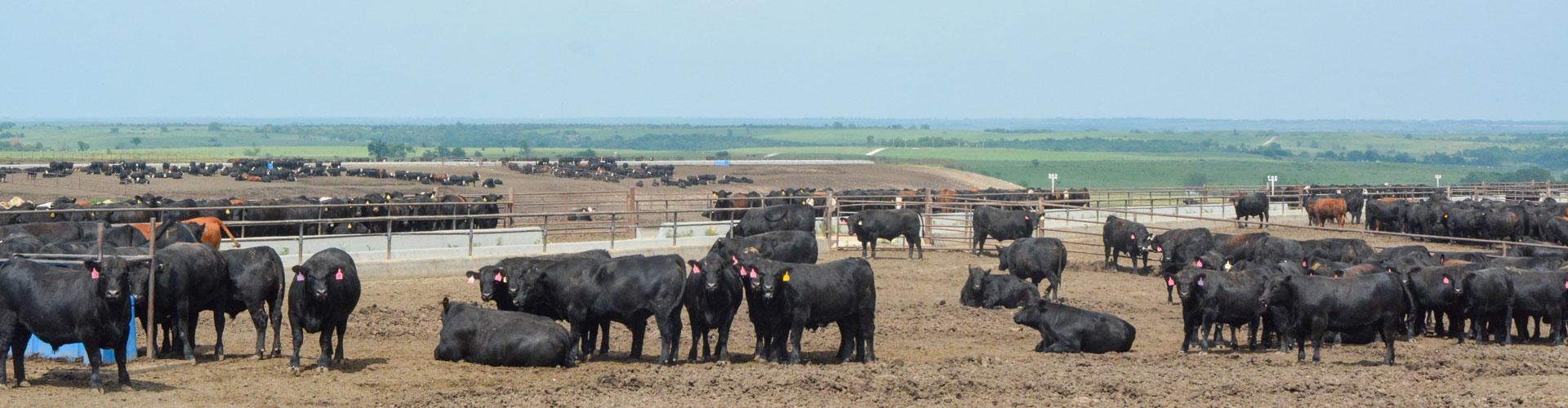 Kansas feedyard
