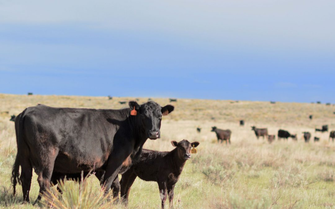 Following the calves: When Mother Nature doesn't care